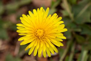 Dandelion weed growing in garden