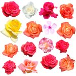 What do each color of roses mean